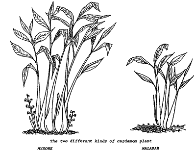 Drawings Of The Two Kinds Cardamom Plants