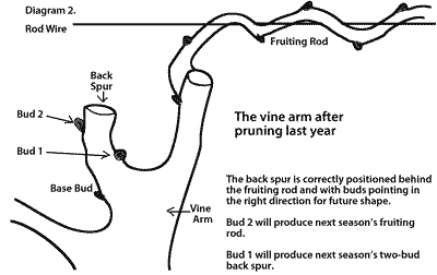 G vine trellis diagram vine grass elsavadorla - How to prune and train the grapevine ...