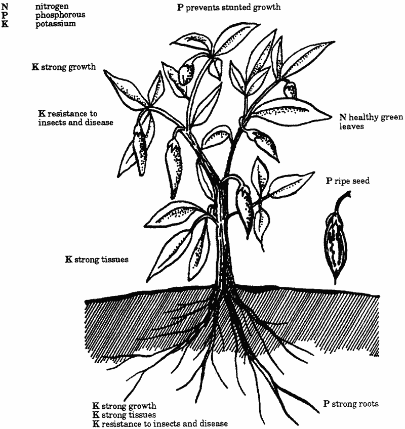 Nitrogen phosporous potassium sketch of a plant showing parts affected by n p and k ccuart Images
