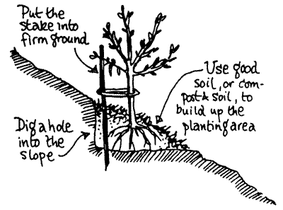 University of illinois extension serving dupage kane and kendall counties - Fir tree planting instructions a vigorous garden ...