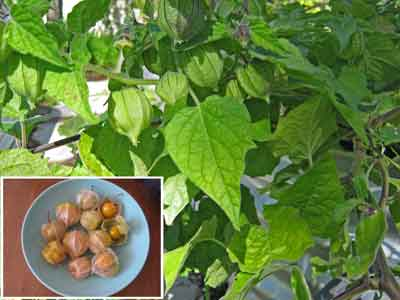 Cape Gooseberry Flower Cape Gooseberry Plant And